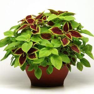 Fuseables Coleus Under the Sun -2 мультидраже